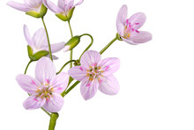 Stem And Flowers Of Spring Bea...