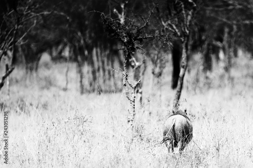 Photo  A warthog going away. Photography in black and white.