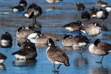 Canada Goose Walking On Frozen...