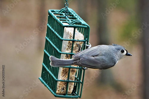 A single tufted titmouse (Baeolophus bicolor) perching on green suet feeder enjoy eating and relaxing on the background of blurry garden, Winter in Georgia USA Fototapet