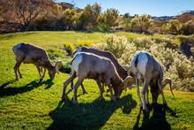 Rams Grazing