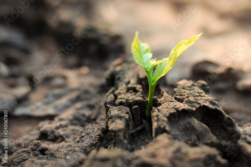 New life of trees by germination of seedlings on stumps. Canvas Print