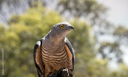 this is a close up of a Pacific Baza Canvas Print