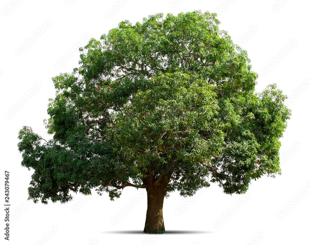 Fototapety, obrazy: mango tree isolate on white background