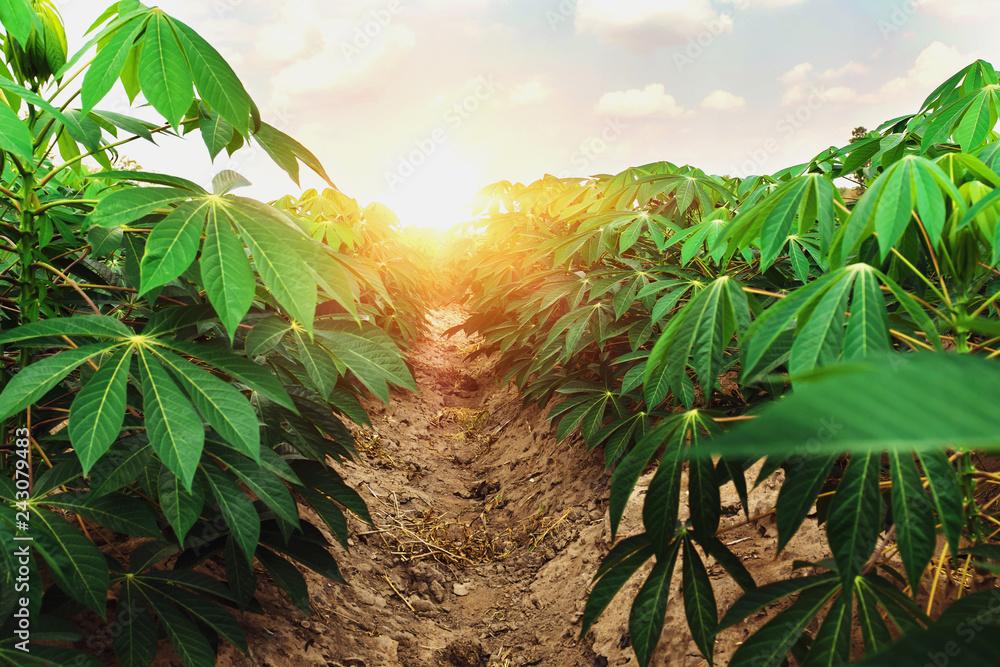 Fototapety, obrazy: cassava tree in farm and sunset