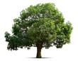Leinwandbild Motiv mango tree isolate on white background