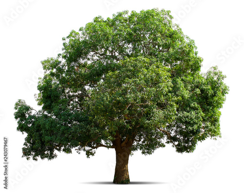 mango tree isolate on white background