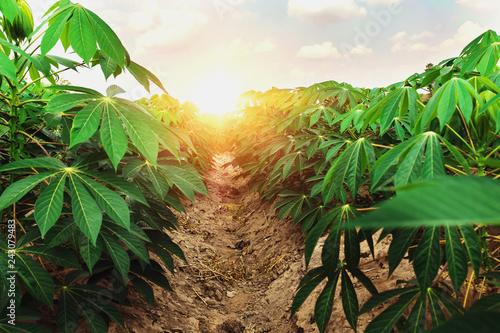 cassava tree in farm and sunset Fotobehang