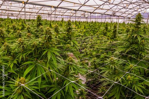 Photo Cannabis Field