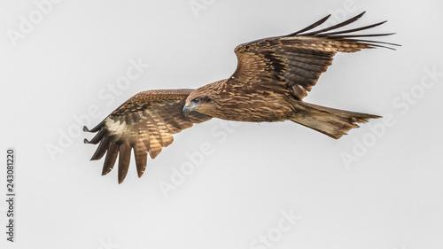 Fotografia  Black kite flying