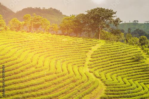 Photo  High ground green tea plantation field over mountain slope