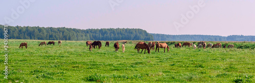 Photo sur Toile Chevaux Horses on the field in the summer on a sunny day.