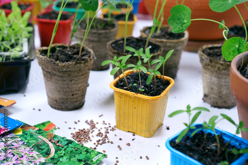 Obraz Spring sowing seeds for seedlings - fototapety do salonu