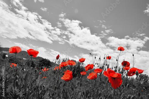 Fototapeta field poppy flowers obraz na płótnie