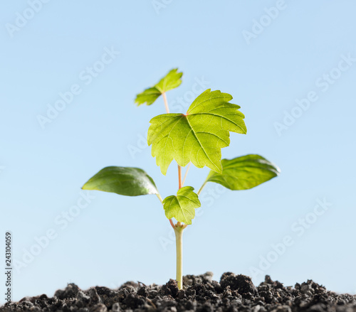 Fotografia Growing grape sprout