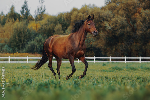 Fototapeta Bay horse galloping across the field