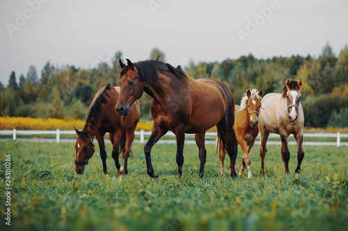 Fotografie, Obraz  Horses in the herd