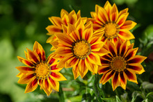 Gazania Flower Or African Daisy In A Garden