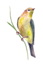 Invitation Card With Pretty Yellow Bird On Twig Of Grass. Watercolor Painting