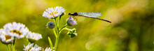Dragonfly Sits On A Flower Cov...