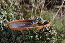 Blaumeise An Der Vogeltränke
