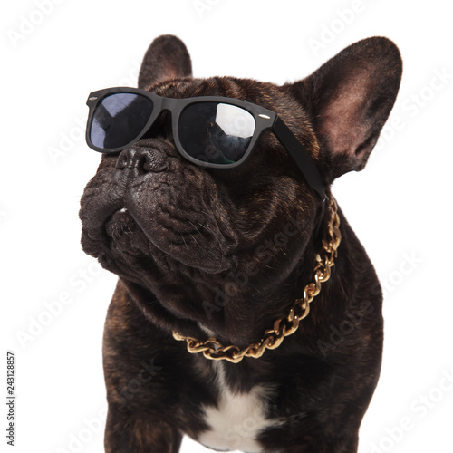 Foto auf Leinwand Französisch bulldog head of curious french bulldog wearing sunglasses and collar