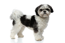 Side View Of Furry Black And White Shih Tzu Standing