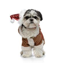 Adorable Santa Shih Tzu Wearin...