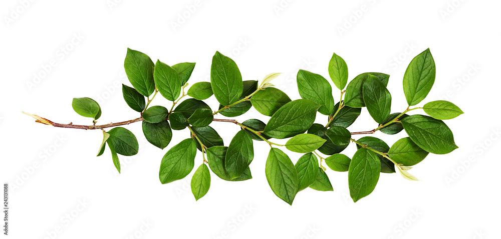Fototapeta Fresh branch with green leaves