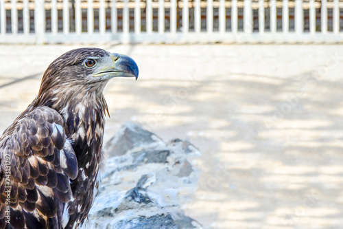 Fotografie, Obraz  Brown eagle, side view, close-up.