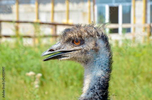 Closeup ostrich head