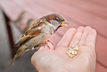 House Sparrow Sitting In Human Hand Feeding On Sunflower Seeds