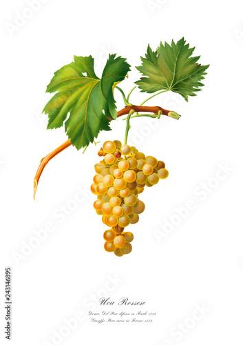 Branch of golden grape. Vintage art poster. Fototapete