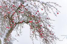 Rote Äpfel Als Weihnachtskugeln Im Schnee Am Apfelbaum