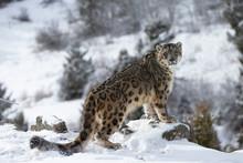 Rare, Endangered, Elusive Snow...