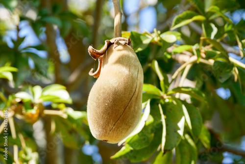Keuken foto achterwand Baobab African baobab fruit or Monkey bread