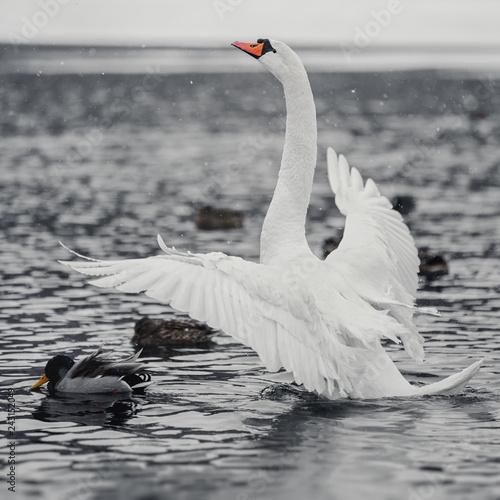 White swan spread its wings