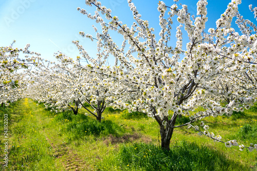 Fotografia Rows of beautifully blossoming in white cherry trees on a green lawn in spring