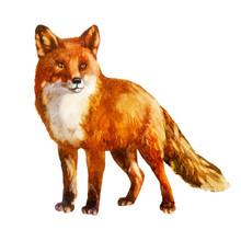 Watercolor Illustration. Fox.