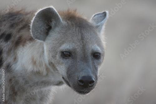 Photo sur Toile Hyène Hyène de Tanzanie