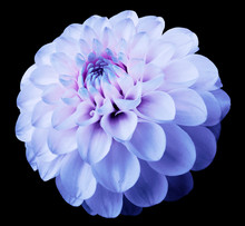 Flower Light Blue Dahlia  Black Isolated Background With Clipping Path. Dew On Petals.