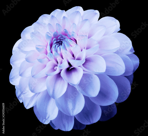 Poster de jardin Dahlia flower light blue dahlia black isolated background with clipping path. Dew on petals.