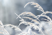 Grass Branches Frozen In The I...