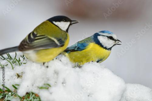 Fototapeta premium niebieska i bogatka siedząca na zaśnieżonej gałęzi