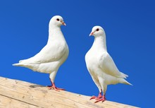 Two White Pigeon Isolated On B...
