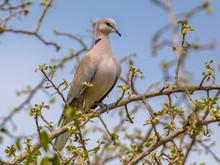 Cape Turtle Dove On Branch