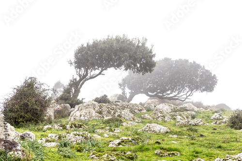Valokuva  Landscape with windswept trees in the fog in Sardinia, Italy