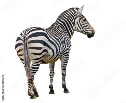 Canvas Prints Zebra Zebra isolated on white background