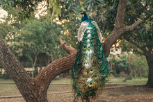 Male Peacock With Ornate Feather Tail Sits On A Tree