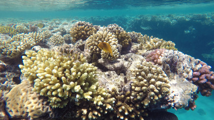 Yellow fish among the coral reef, close up